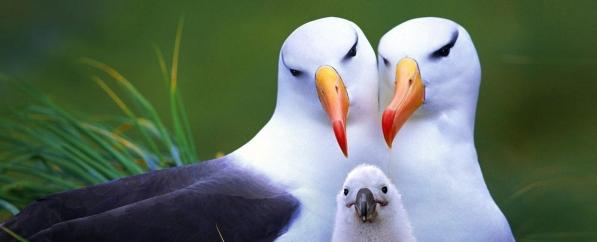 964755-albatross